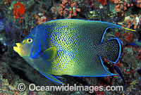 Blue Angelfish Pomacanthus semicirculatus Photo - Gary Bell
