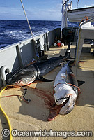 Tiger Sharks caught on set drum lines Photo - Gary Bell