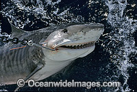 Tiger Shark caught on set drum line Photo - Gary Bell