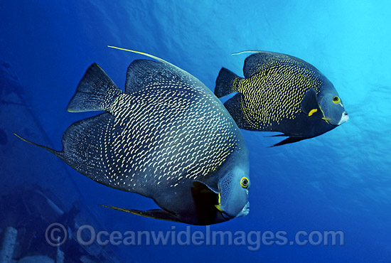 Caribbean Angelfish Pomacanthus paru photo