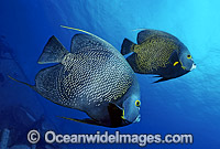 Caribbean Angelfish Pomacanthus paru Photo - Gary Bell