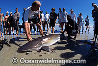 Bronze Whaler Shark caught in net photo