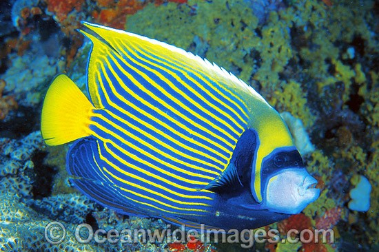 Emperor Angelfish (Pomacanthus imperator). Great Barrier Reef, Queensland, Australia
