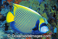 Emperor Angelfish Photo - Gary Bell