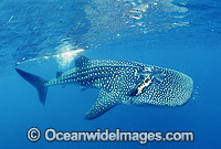 Whale Shark Rhincodon typus with scarring Photo - Gary Bell