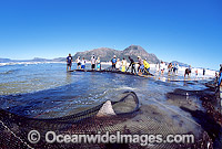 Bronze Whaler Shark caught in beach seine net Photo - Chris & Monique Fallows