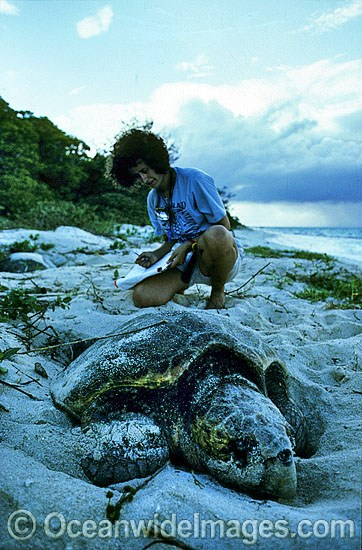 Sea Turtle Researcher documents the nesting behaviour of a Loggerhead Sea Turtle (Caretta caretta). Heron Island, Great Barrier Reef, Queensland, Australia Photo - Gary Bell
