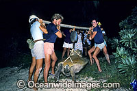 Researchers volunteers Green Sea Turtle Photo - Gary Bell