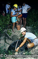 Researchers measure Turtle carapace Photo - Gary Bell
