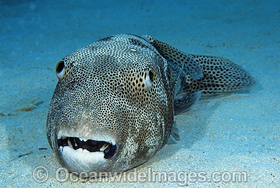 Starry Pufferfish (Arothron stellatus). Also known as Starry Toadfish. Great Barrier Reef, Queensland, Australia Photo - Gary Bell