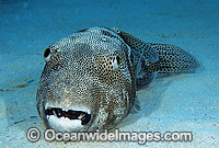 Starry Pufferfish Arothron stellatus Photo - Gary Bell