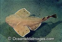 Australian Angel Shark Squatina australis Photo - Bill Boyle