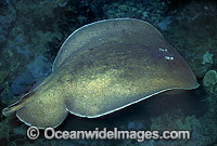 Coffin Ray Hypnos monopterygium Photo - Bill Boyle