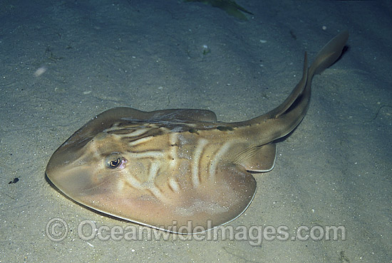 Southern Fiddler Ray (Trygonorrhina guaneria). Also known as Banjo Shark, Green Skate, Parrit and Southern Fiddler. Victoria, Australia. Photo - Bill Boyle
