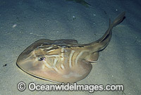 Southern Fiddler Ray Trygonorrhina fasciata Photo - Bill Boyle