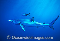 Blue Shark or Blue Whaler Photo - Chris & Monique Fallows