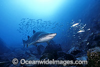 Grey Nurse Shark feeding on Mackeral Photo - Gary Bell