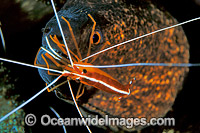 Yellow-margined Moray Eel Cleaner Shrimp photo