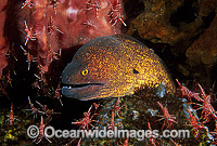 Yellow-margined Moray Eel being cleaned Photo - Gary Bell
