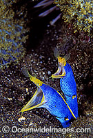 Pair of Blue Ribbon Eels Photo - Gary Bell