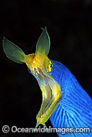 Blue Ribbon Eel Rhinomuraena quaesita photo