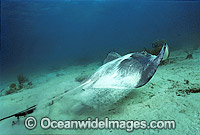 Southern Stingray Dasyatis americana photo