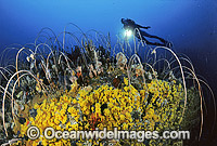 Scuba Diver on Tasmania reef photo