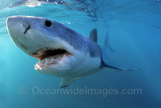 Great White Shark underwater photo