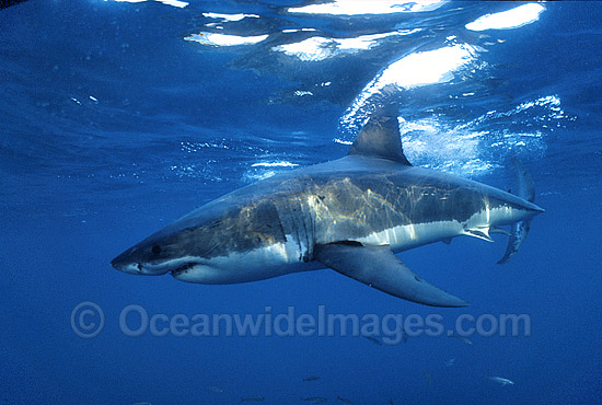 Great White Shark (Carcharodon carcharias) underwater. Also known as White Pointer and White Death. Neptune Islands, South Australia. Listed as Vulnerable Species on the IUCN Red List. Photo - Gary Bell