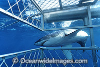 Great White Shark Shark cage Photo - Gary Bell