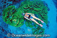 Snorkeler with Cabbage Coral Photo - Gary Bell
