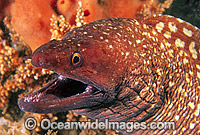 Saw-tooth Moray Eel Gymnothorax prionodon image