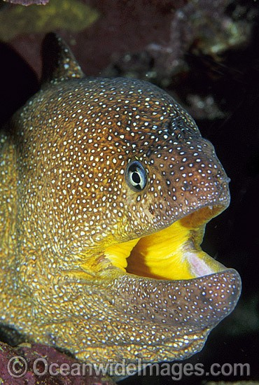 Yellow-mouth Moray Eel Gymnothorax nudivomer photo