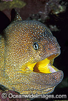Yellow-mouth Moray Eel Gymnothorax nudivomer image