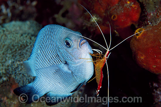 Cleaner Shrimp (Lysmata amboinensis) cleaning Three-spot Humbug (Dascyllus trimaculatus), also known as Damselfish. Bali, Indonesia Photo - Gary Bell