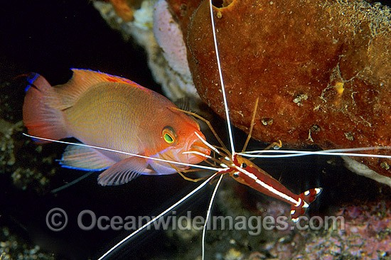 Cleaner Shrimp (Lysmata amboinensis) cleaning a Pink Basslet (Pseudanthias hypselosoma). Bali, Indonesia