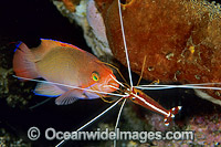 Cleaner Shrimp cleaning Pink Basslet photo