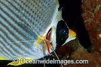 Cleaner Shrimp cleaning Eye-patch Butterflyfish photo