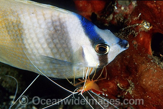 Cleaner Shrimp cleaning Latticed Butterflyfish photo