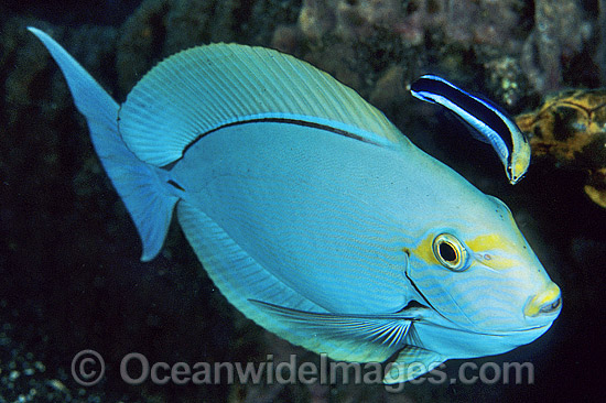 Cleaner Wrasse cleaning Surgeonfish photo