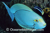 Cleaner Wrasse cleaning Surgeonfish image