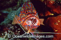 Cleaner Shrimp cleaning mouth of Coral Grouper photo