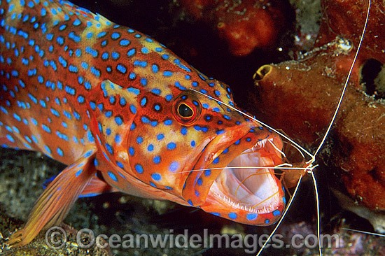 Shrimp cleaning mouth of Coral Grouper photo