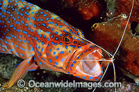 Shrimp cleaning mouth of Coral Grouper