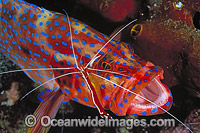 Cleaner Shrimp cleaning Coral Grouper photo