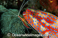 Shrimp cleaning Coral Grouper photo