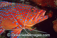 Cleaner Shrimp cleaning Coral Grouper