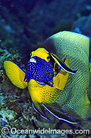 Cleaner Wrasse cleaning Blue-face Angelfish Photo - Gary Bell