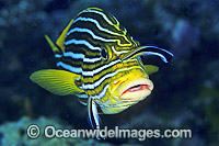 Wrasse cleaning Yellow-ribbon Sweetlips Photo - Gary Bell