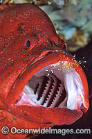 Cleaner Shrimp cleaning Tomato Grouper photo